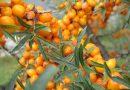 Lo sciroppo di olivello spinoso